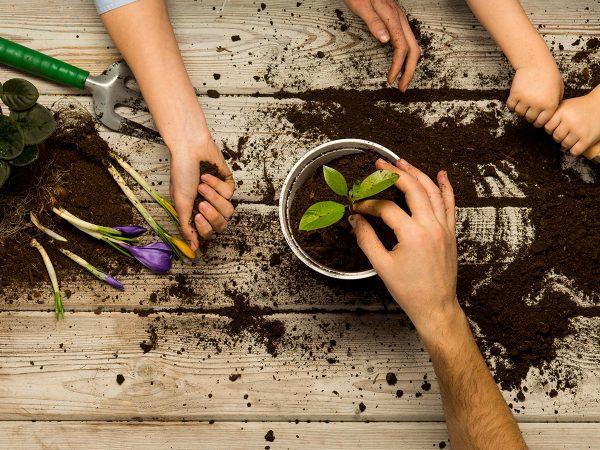 mani di adulti e bambini rinvasano una pianta terriccio primula crocus
